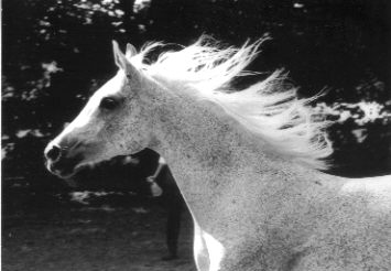 Echo was a beautiful grey Arabian Mare and when she ran her long mane flew like a sail.
