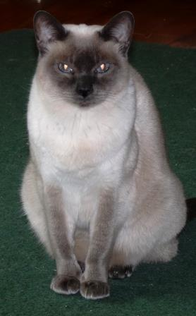 Image of Violet, Blue-Point Siamese.