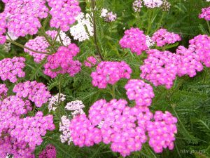 Beautiful pink yarrow flowers.
