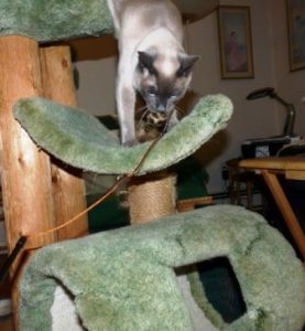 Starlight in cat tree with toy.