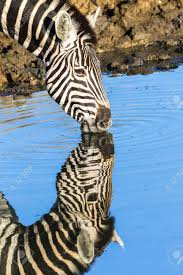 Zebra Reflection in Water