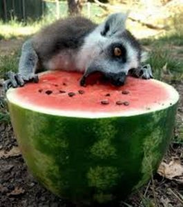 Animal eating a watermelon.