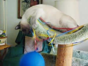 Starlight in cat tree playing with blue balloon.
