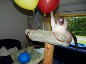 Starlight in cat tree with all 3 balloons.