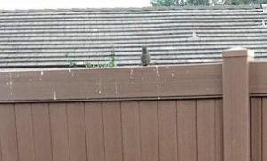 The bird on the fence is following a dog.