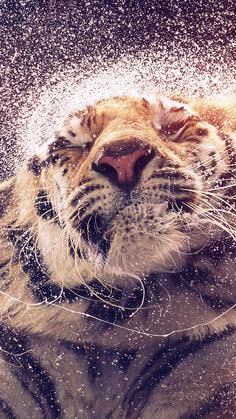 Tiger in bliss.